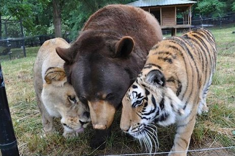 Lion, Bear & Tiger
